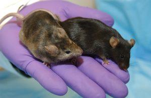 Genetically engineered mice